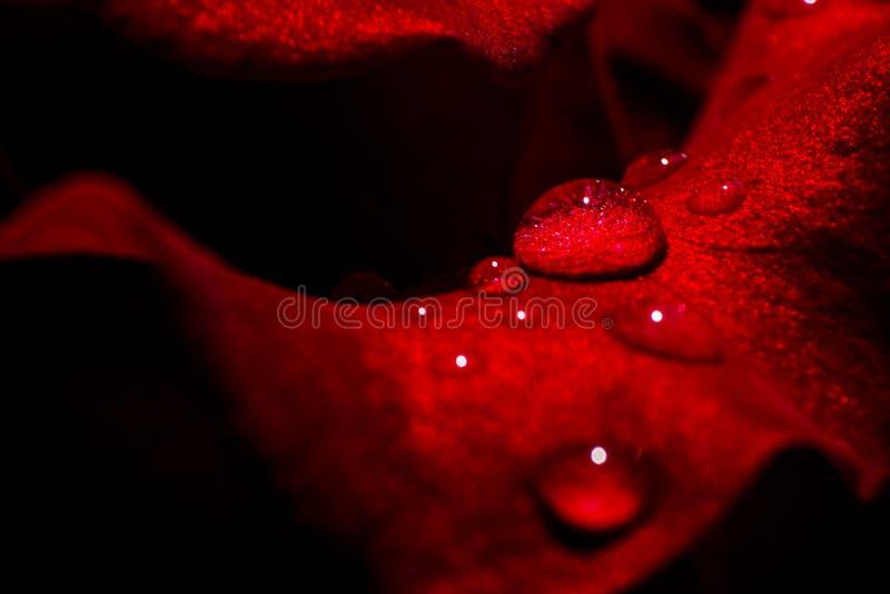 Foto macro de gotas da água nas rosas vermelhas imagem de stock