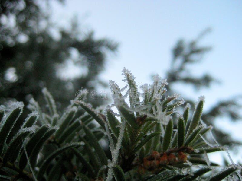 Foto macro de ramos de árvore verdes com sincelos de cristal da geada foto de stock