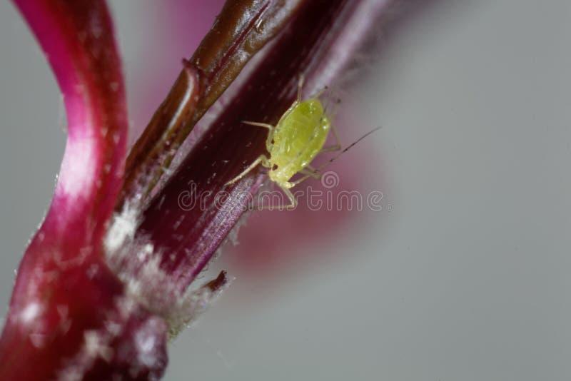 Foto macro de um greenfly imagens de stock royalty free