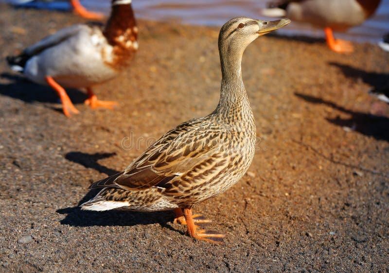Foto macro de um pato grande dos p?ssaros fotografia de stock