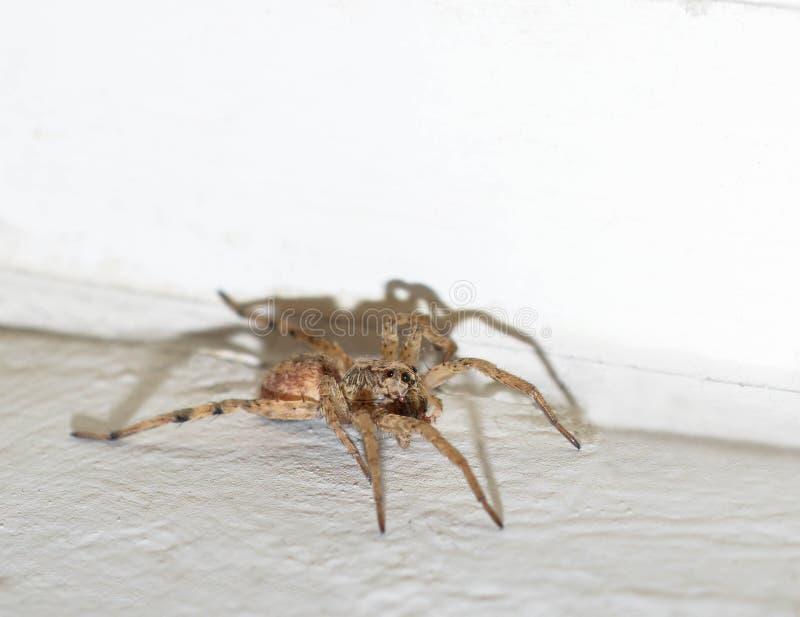 foto macro de uma aranha de lobo marrom peludo dentro de uma casa foto de stock