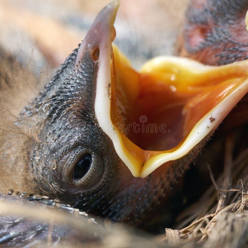 Foto macro de uma cabeça do pintainho do tordo recém-nascido com fome com boca aberta fotografia de stock