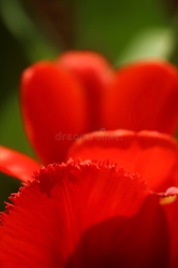 Foto macro de uma pétala de uma tulipa vermelha nas bordas com uma franja contra o fundo fotos de stock