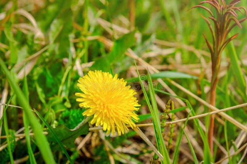 Foto macro de uma planta do dente-de-leão Planta do dente-de-leão com um botão amarelo macio Crescimento de flor amarelo do dente fotos de stock