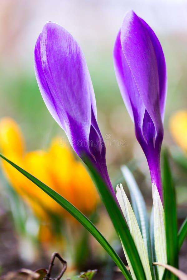 Foto macro do botões fechados do fim roxo do açafrão das flores bonitas da mola acima imagem de stock