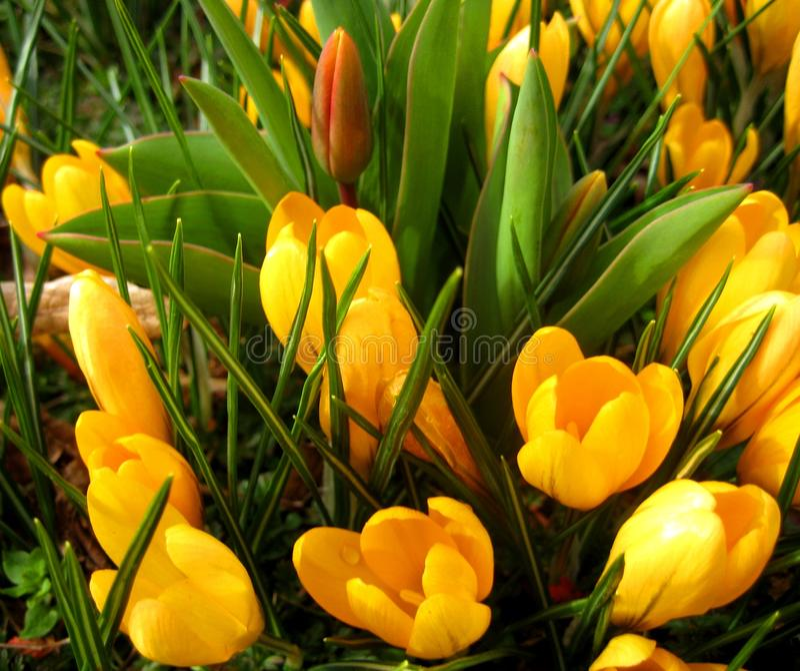 Foto macro do cus amarelo do ³ de Crà das flores da mola para o projeto da jardinagem e da paisagem foto de stock royalty free