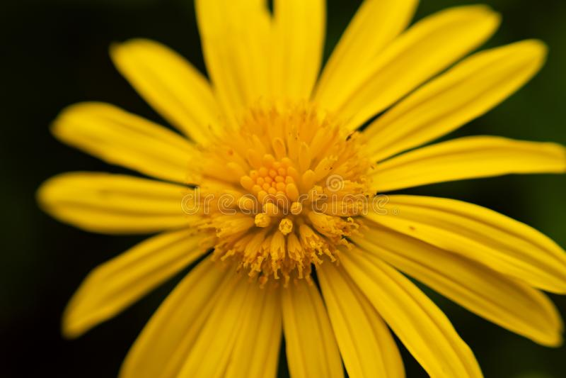 Foto macro do girassol amarelo imagens de stock