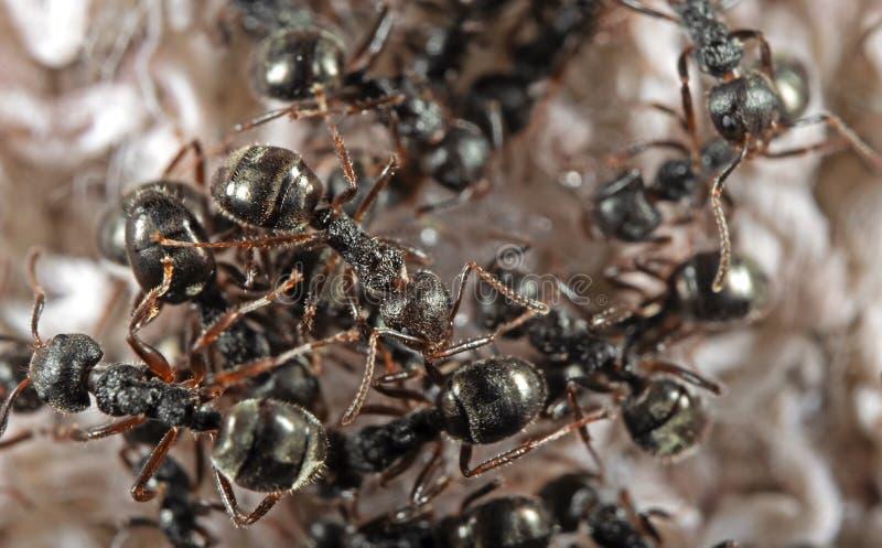 Foto macro do grupo de formigas pretas do jardim que procuram pelo alimento fotografia de stock
