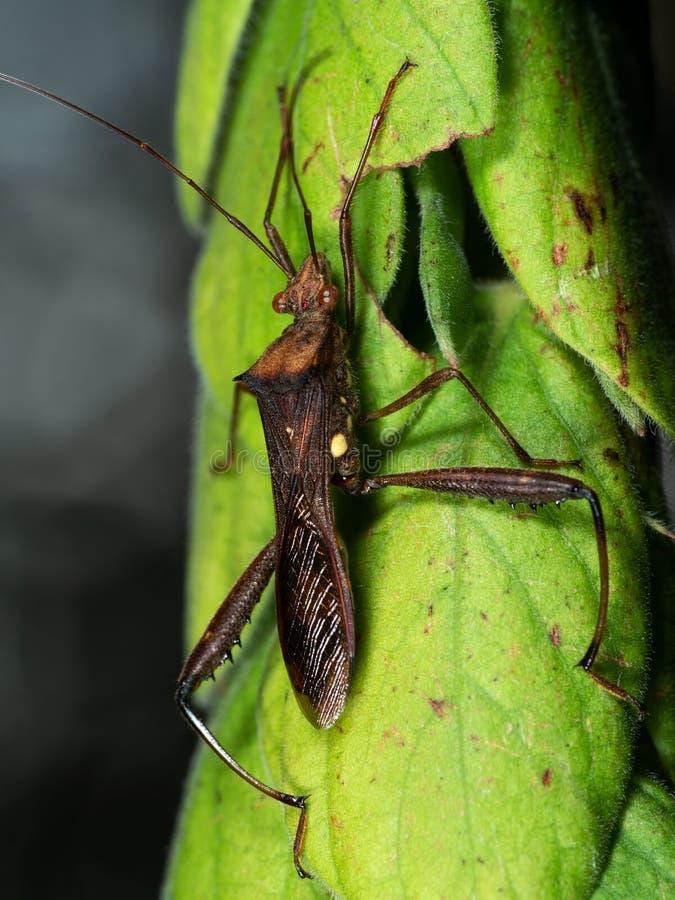 Foto macro do inseto de Brown na folha verde fotos de stock royalty free