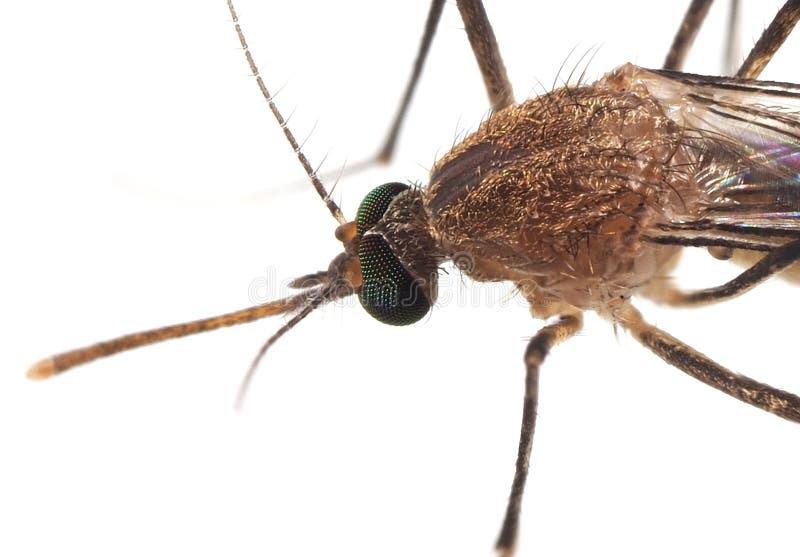 Foto macro do mosquito no assoalho branco foto de stock