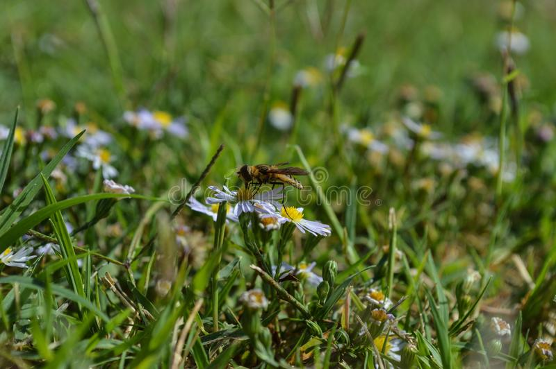 Foto macro do perfil de uma vespa do revestimento amarelo que suga o néctar de um wildflower pequeno foto de stock royalty free