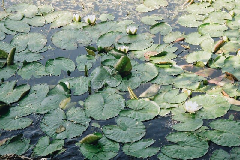 Foto met groene bladeren en lotuses in de vijver In de de zomertijd stock afbeeldingen