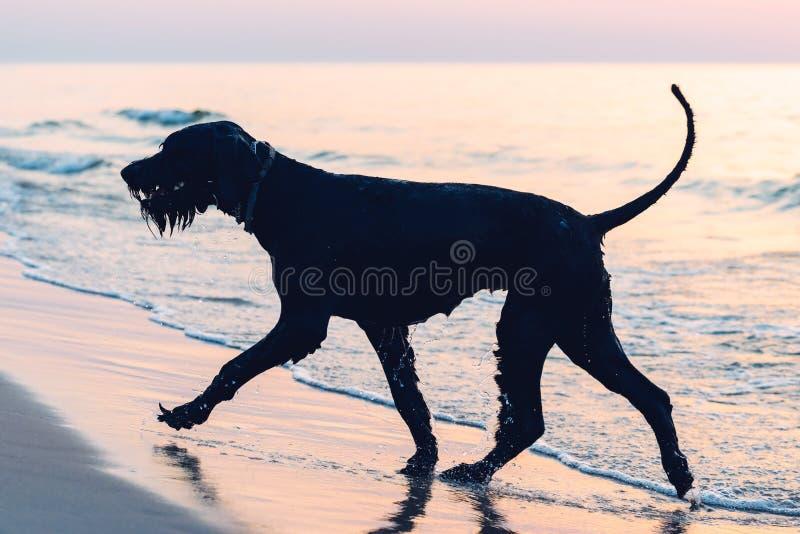 Foto mostrada em silhueta de um grande schnauzer do cão preto imagem de stock