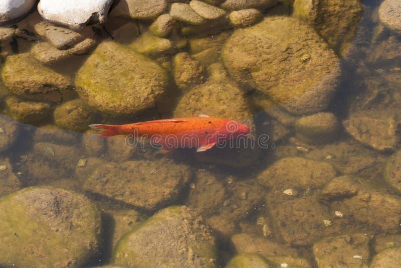 Foto organica naturale di belle variazioni di colore di carpio del Cyprinus di nuoto di Koi Carp Fish Japanese fotografia stock