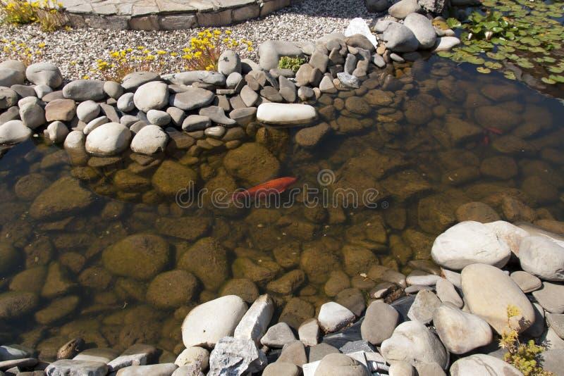 Foto organica naturale di belle variazioni di colore di carpio del Cyprinus di nuoto di Koi Carp Fish Japanese immagine stock