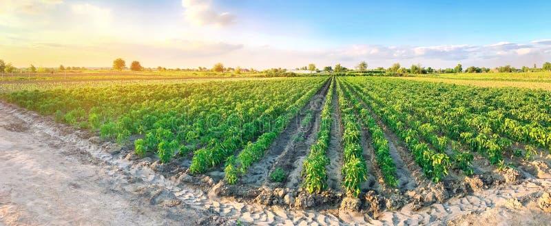 Foto panorâmica de uma bela vista agrícola com plantações de pimenta Agricultura e agricultura Agribusiness Indústria agroaliment foto de stock