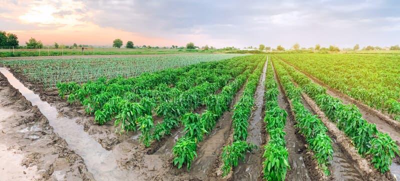 Foto panorâmica de uma bela vista agrícola com plantações de pimenta Agricultura e agricultura Agribusiness Indústria agroaliment fotografia de stock