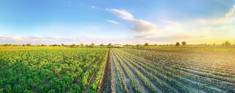 Foto panorâmica de uma bela vista agrícola com plantações de pimenta e alho Agricultura e agricultura Agribusiness Agro imagem de stock royalty free