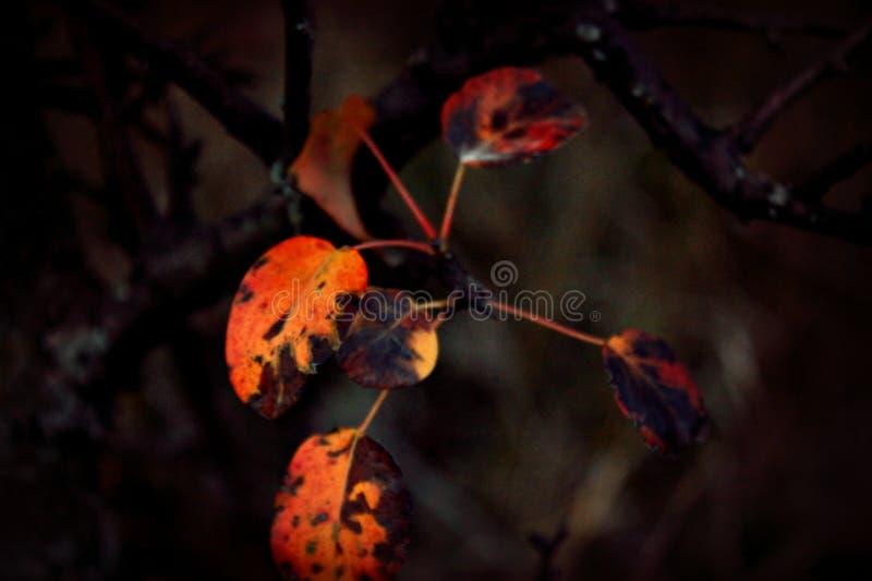 Foto para o projeto e o fundo, vermelho brilhante, folhas alaranjadas em um ramo de árvore em um fundo escuro fotografia de stock royalty free