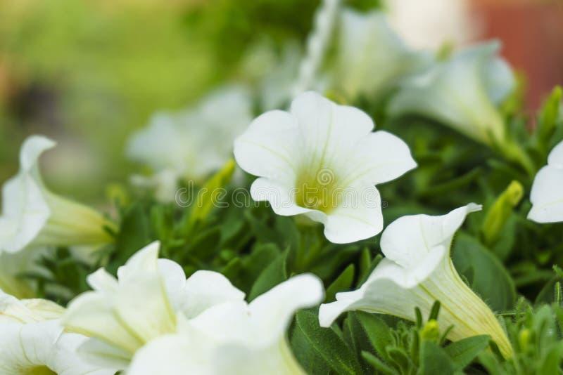 foto Petunia de floresc?ncia Fundo floral, close-up da flor da mola Flores brilhantes no ramo imagem de stock