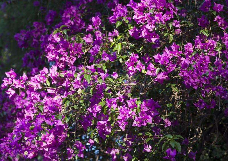 Foto porpora del fiore della buganvillea sul fondo della natura fotografia stock libera da diritti