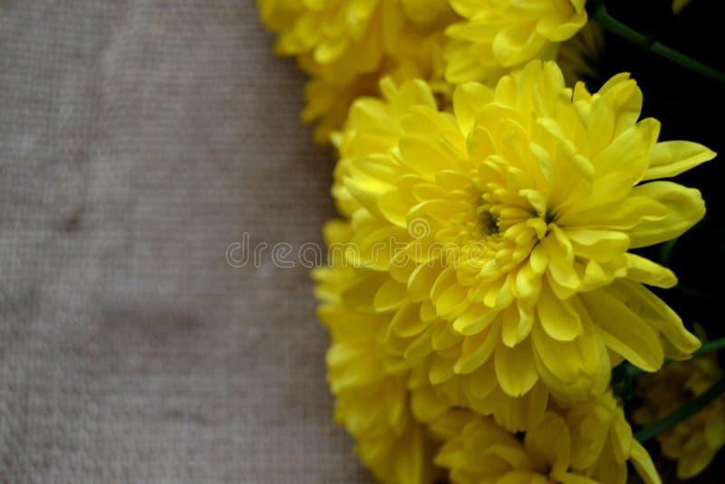 A foto próxima de flores amarelas do crisântemo fotos de stock royalty free