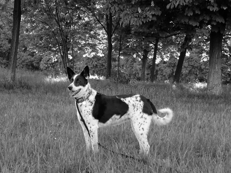 Foto preto e branco da beira Collie Dog nas madeiras fotografia de stock