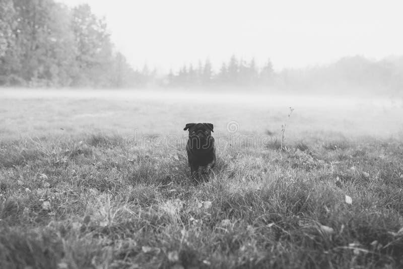 Foto preto e branco de um pug preto, cão bonito que anda através do campo enevoado, nevoento para a câmera imagens de stock