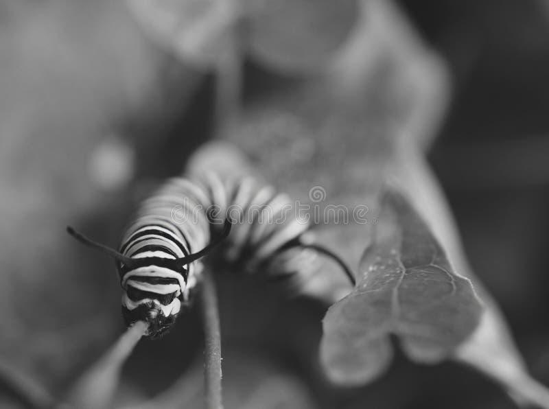 Foto preto e branco macro de lagartas de um monarca fora em uma haste imagem de stock