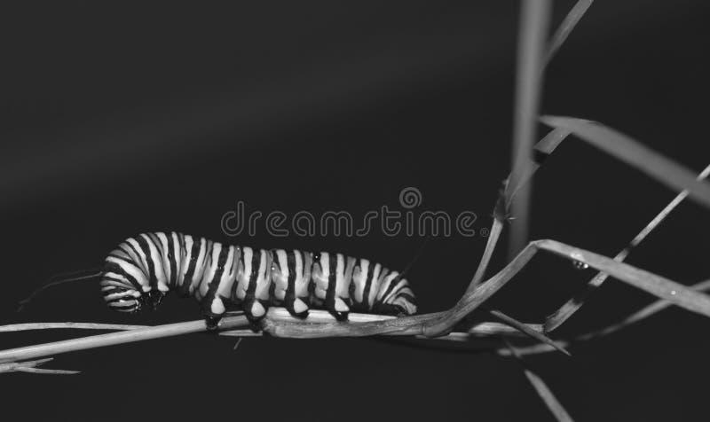 Foto preto e branco macro de lagartas de um monarca fora em uma haste da planta fotos de stock
