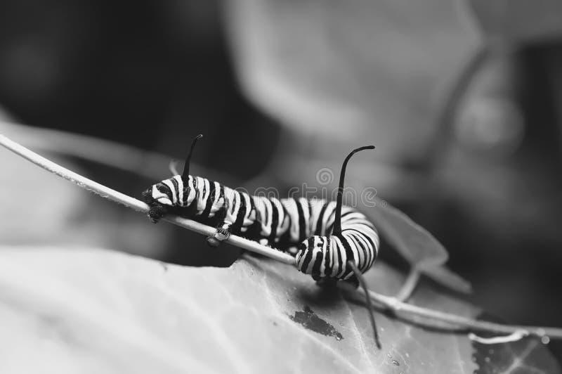 Foto preto e branco macro de lagartas de um monarca fora em uma haste de uma planta foto de stock