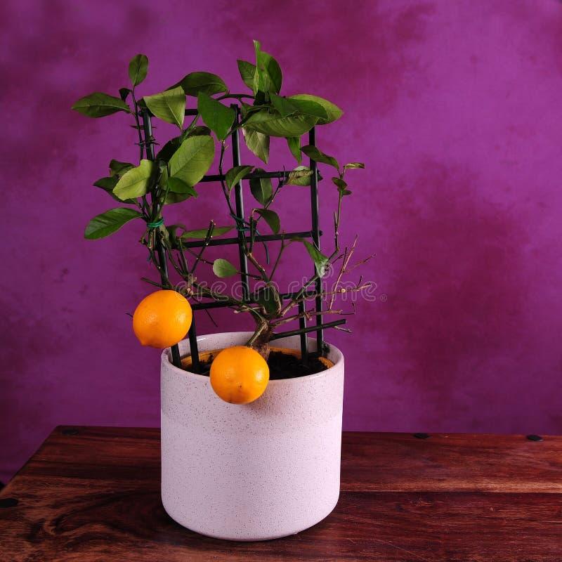 Foto quadrata di Lemoni sul piccolo albero fotografia stock libera da diritti