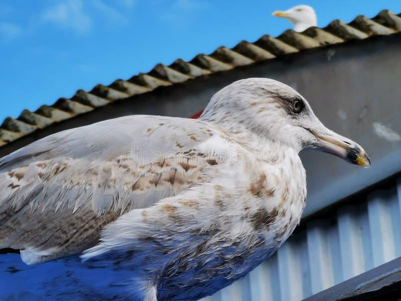 Foto ravvicinata di Big Sea Gull. Uccello bianco illustrazione di stock