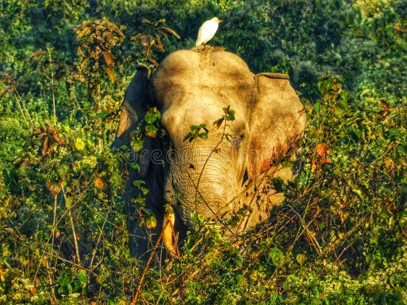 Foto relacionada dos animais selvagens amizade dos animais selvagens Elefante e p?ssaro imagens de stock