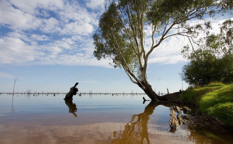 Albero di gomma nel lago Mulwala, Australia immagini stock
