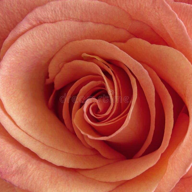 Foto rosa rosa di color salmone del primo piano fotografia stock libera da diritti