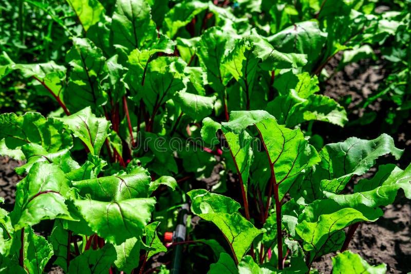 Foto's van jonge bietenspruiten De groei in het land van de biet Bieten die in de de tuinspruiten en bladeren groeien Het landbou stock foto