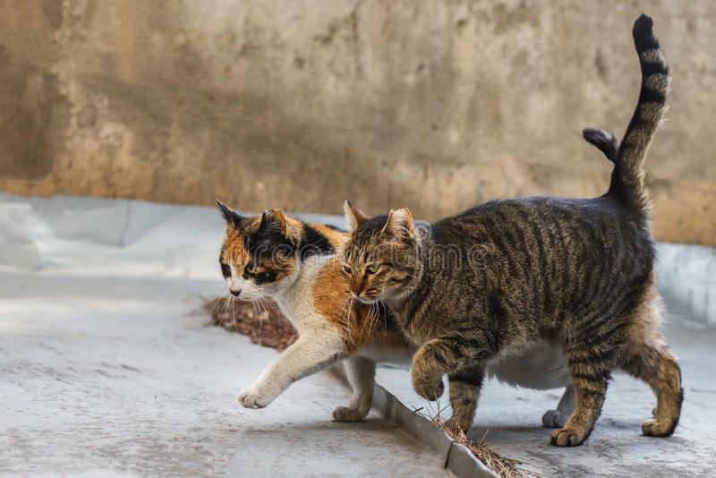 Foto smarrita di 2019 Cat Photographer nuova, gatti svegli della via che camminano insieme fotografie stock