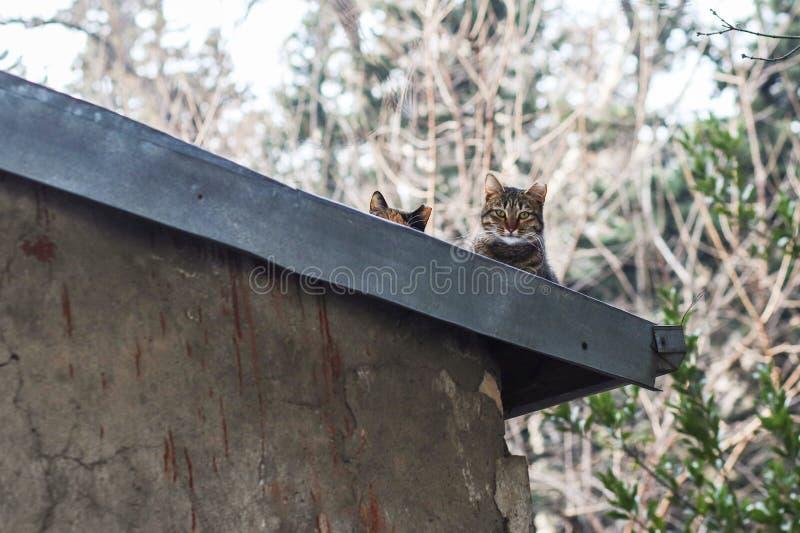 Foto smarrita di 2019 Cat Photographer nuova, gatto sveglio della via dello due che hidding sul tetto immagine stock