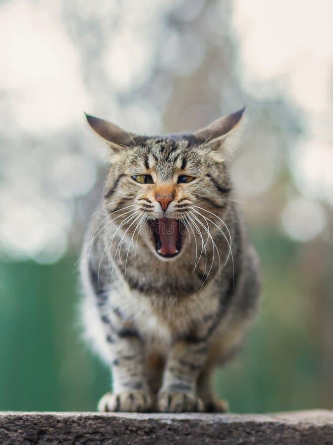 Foto smarrita di 2019 Cat Photographer nuova, sbadiglio grigio sveglio del gatto della via immagine stock libera da diritti