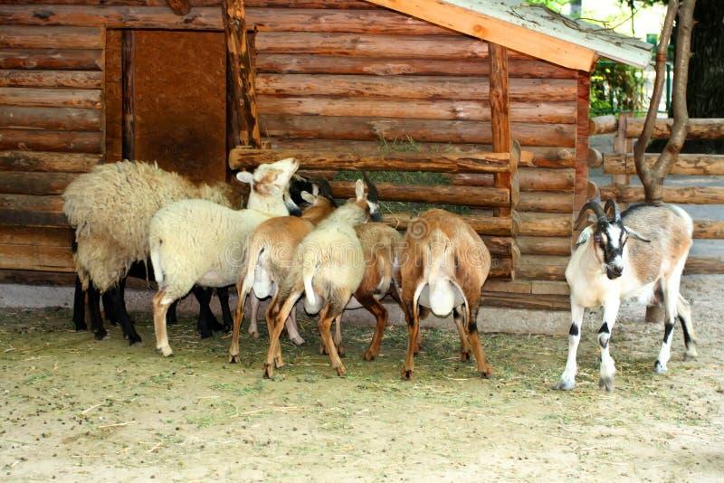 Foto som precis tas för stormen En flock av getter och ett får äter i ho arkivbilder