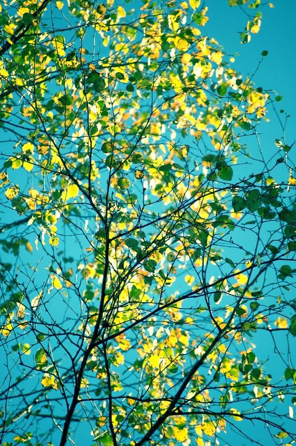 Foto specifica di bella estate Foglie verdi sui più piccoli alberi di betulla con bello chiaro cielo blu nei precedenti Bello de fotografia stock