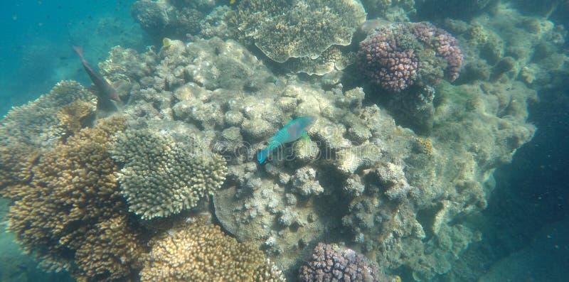 Foto subacquea di corallo e di un pesce pappagallo brillantemente colorato immagine stock libera da diritti