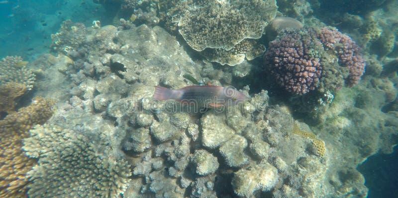 Foto subacquea di corallo e di un pesce pappagallo messo un freno a brillantemente colorato immagine stock libera da diritti