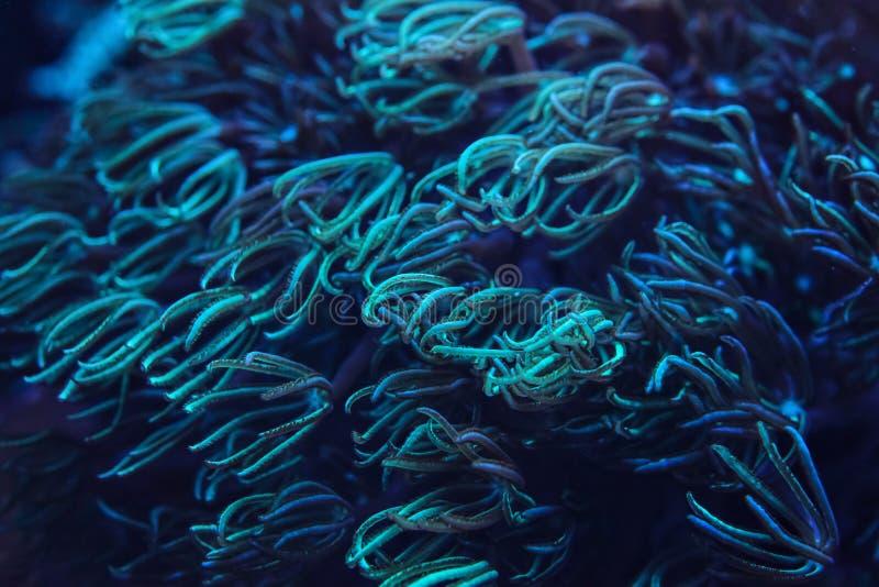 Foto subacquea, di corallo nell'ambito di luce UV, emissione di tentacoli blu e ciano Fondo astratto di vita marina immagini stock