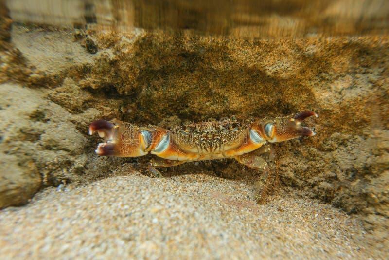 Foto subacquea - eriphia verrucosa warty che si nasconde sotto la roccia in acqua bassa, diffusione del granchio degli artigli di fotografia stock