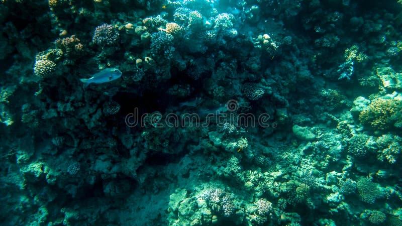 Foto subaquática de surpresa da escola grande dos peixes tropicais coloridos que nadam no recife de corais grande foto de stock