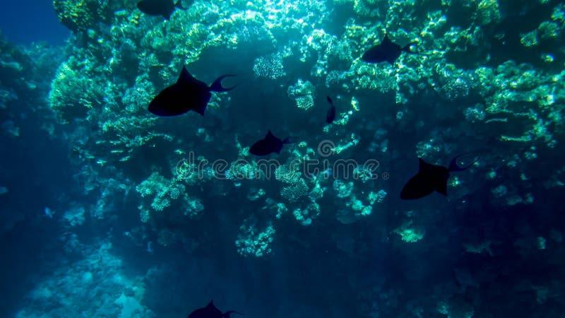 Foto subaqu?tica de surpresa da escola grande dos peixes tropicais coloridos que nadam no recife de corais grande fotos de stock