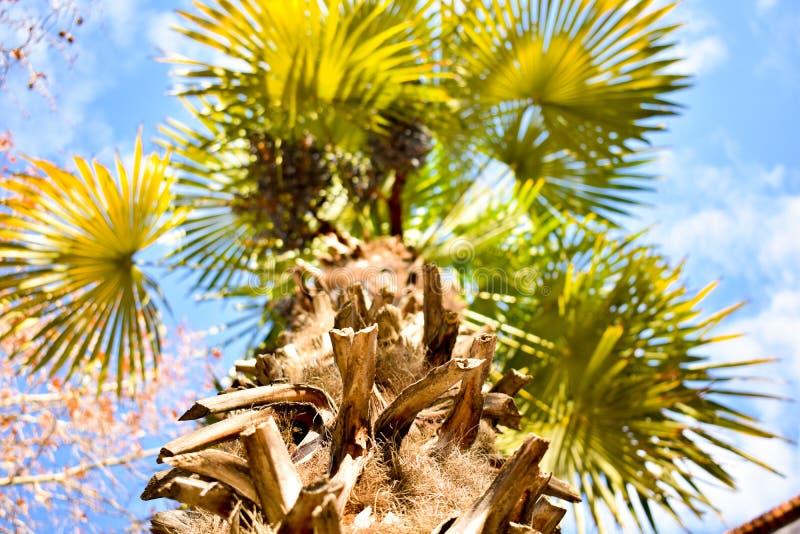 foto superiore inferiore in tutto il ceppo marrone di una palma di a a molti rami con molte foglie verdi aperte al cielo blu con fotografie stock