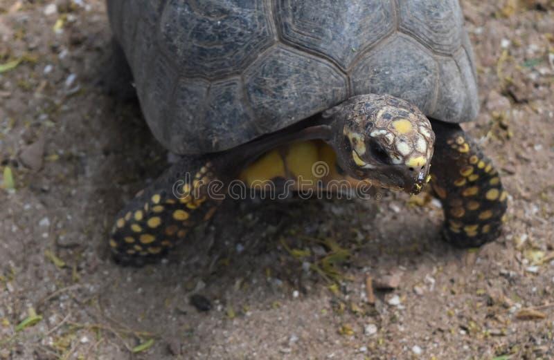 Foto sveglia di piccola tartaruga da sopra fotografia stock
